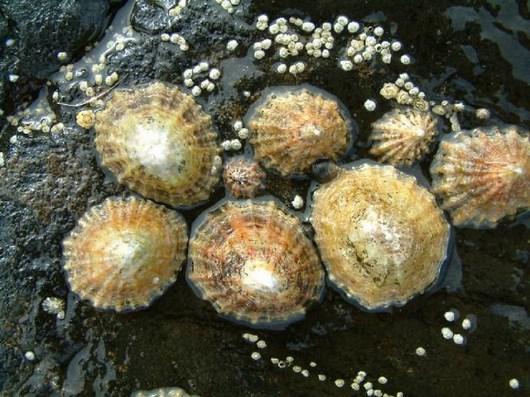 Самый прочный природный материал – зубы моллюска